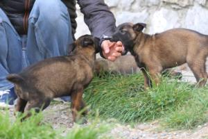 Belgian-Malinois-Puppies-BTWW-H-Litter-180319-0121