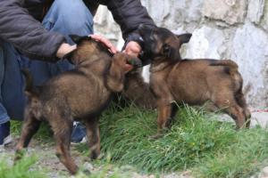 Belgian-Malinois-Puppies-BTWW-H-Litter-180319-0122
