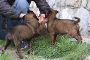 Belgian-Malinois-Puppies-BTWW-H-Litter-180319-0123