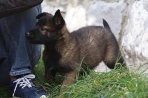 Belgian-Malinois-Puppies-BTWW-H-Litter-180319-0126