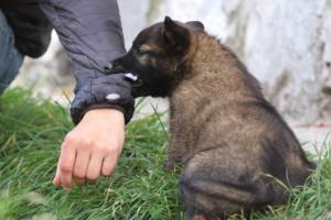 Belgian-Malinois-Puppies-BTWW-H-Litter-180319-0130