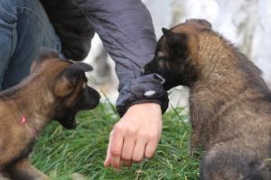 Belgian-Malinois-Puppies-BTWW-H-Litter-180319-0131