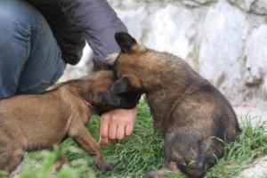 Belgian-Malinois-Puppies-BTWW-H-Litter-180319-0132