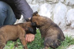 Belgian-Malinois-Puppies-BTWW-H-Litter-180319-0133