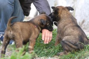 Belgian-Malinois-Puppies-BTWW-H-Litter-180319-0136
