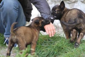 Belgian-Malinois-Puppies-BTWW-H-Litter-180319-0137