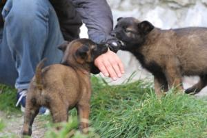 Belgian-Malinois-Puppies-BTWW-H-Litter-180319-0138