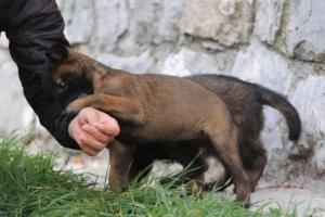 Belgian-Malinois-Puppies-BTWW-H-Litter-180319-0139