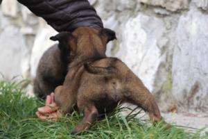 Belgian-Malinois-Puppies-BTWW-H-Litter-180319-0151