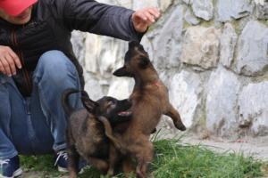 Belgian-Malinois-Puppies-BTWW-H-Litter-180319-0153