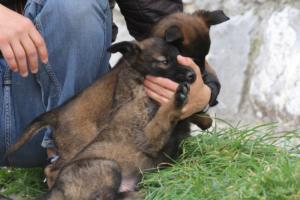 Belgian-Malinois-Puppies-BTWW-H-Litter-180319-0155