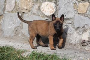 Belgian-Malinois-Puppies-BTWW-H-Litter-180319-0157