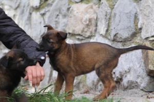 Belgian-Malinois-Puppies-BTWW-H-Litter-180319-0163