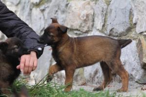 Belgian-Malinois-Puppies-BTWW-H-Litter-180319-0164