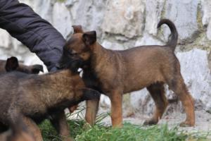 Belgian-Malinois-Puppies-BTWW-H-Litter-180319-0166