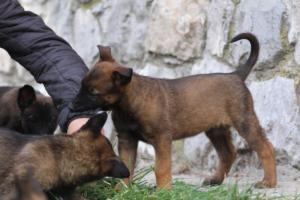 Belgian-Malinois-Puppies-BTWW-H-Litter-180319-0167
