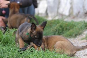 Belgian-Malinois-Puppies-BTWW-H-Litter-180319-0168