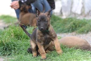 Belgian-Malinois-Puppies-BTWW-H-Litter-180319-0169