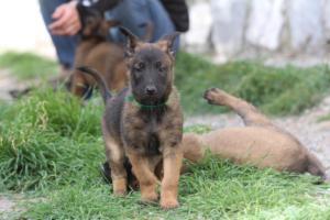 Belgian-Malinois-Puppies-BTWW-H-Litter-180319-0170
