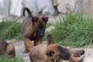 Belgian-Malinois-Puppies-BTWW-H-Litter-180319-0171