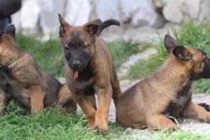 Belgian-Malinois-Puppies-BTWW-H-Litter-180319-0172