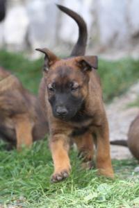 Belgian-Malinois-Puppies-BTWW-H-Litter-180319-0173