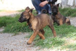 Belgian-Malinois-Puppies-BTWW-H-Litter-180319-0174