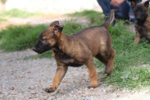Belgian-Malinois-Puppies-BTWW-H-Litter-180319-0175