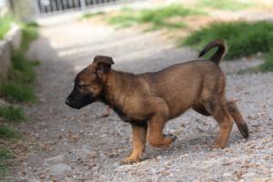 Belgian-Malinois-Puppies-BTWW-H-Litter-180319-0176