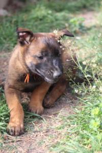 Belgian-Malinois-Puppies-BTWW-H-Litter-180319-0177