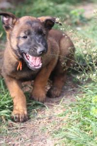 Belgian-Malinois-Puppies-BTWW-H-Litter-180319-0178