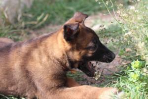 Belgian-Malinois-Puppies-BTWW-H-Litter-180319-0179