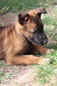 Belgian-Malinois-Puppies-BTWW-H-Litter-180319-0183