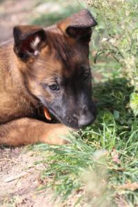 Belgian-Malinois-Puppies-BTWW-H-Litter-180319-0185