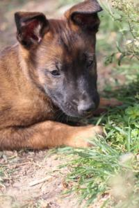 Belgian-Malinois-Puppies-BTWW-H-Litter-180319-0186