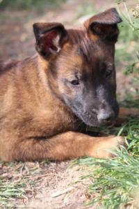 Belgian-Malinois-Puppies-BTWW-H-Litter-180319-0187