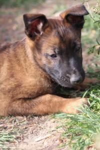 Belgian-Malinois-Puppies-BTWW-H-Litter-180319-0188