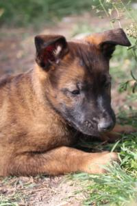 Belgian-Malinois-Puppies-BTWW-H-Litter-180319-0189