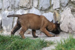 Belgian-Malinois-Puppies-BTWW-H-Litter-180319-0193