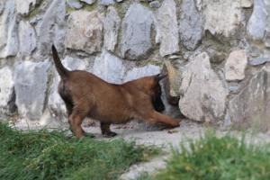 Belgian-Malinois-Puppies-BTWW-H-Litter-180319-0197