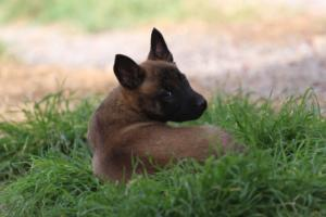 Belgian-Malinois-Puppies-BTWW-H-Litter-180319-0200