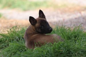 Belgian-Malinois-Puppies-BTWW-H-Litter-180319-0201