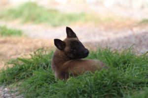 Belgian-Malinois-Puppies-BTWW-H-Litter-180319-0203