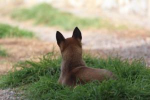 Belgian-Malinois-Puppies-BTWW-H-Litter-180319-0204