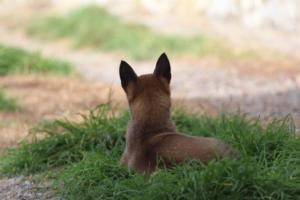 Belgian-Malinois-Puppies-BTWW-H-Litter-180319-0205
