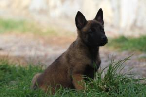 Belgian-Malinois-Puppies-BTWW-H-Litter-180319-0206