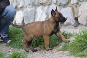 Belgian-Malinois-Puppies-BTWW-H-Litter-180319-0207
