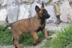Belgian-Malinois-Puppies-BTWW-H-Litter-180319-0208