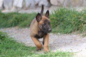 Belgian-Malinois-Puppies-BTWW-H-Litter-180319-0209