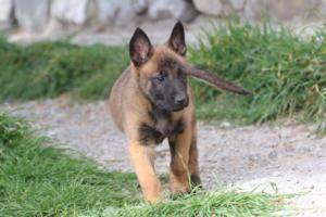 Belgian-Malinois-Puppies-BTWW-H-Litter-180319-0210